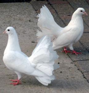 Doves For Sale >> Doves For Sale
